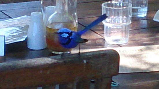 Cottage Cafe at The Berry Farm: Beautiful little blue wrens at the Berry Farm cafe.