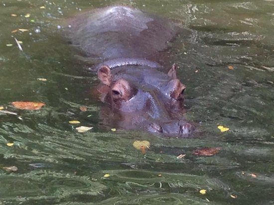 Bali Safari & Marine Park : Hippo can hold breath for 4 mins under water