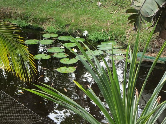 Treetops Lodge: lily pond
