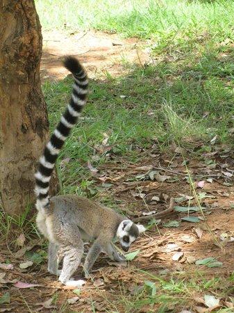 Lemurs Park : Ring tailed lemur