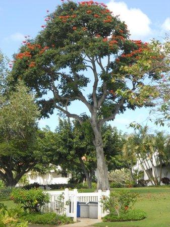 Kiahuna Plantation Resort : beautiful flowering tree on the grounds