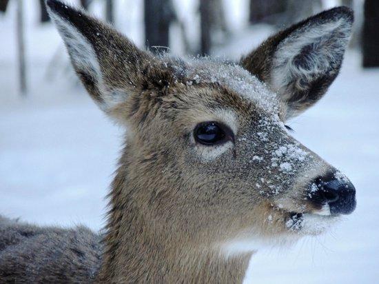 Auberge le Cosy Tremblant: Deer at Auberge