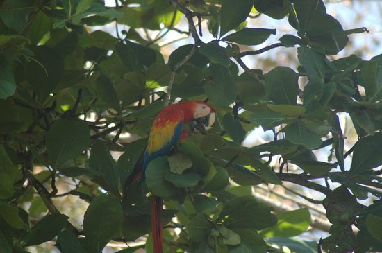 Crocodile Bay Resort : Macaw