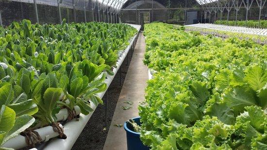 Adjuntas, Puerto Rico: Su cultivo de lechugas romana y del pais!