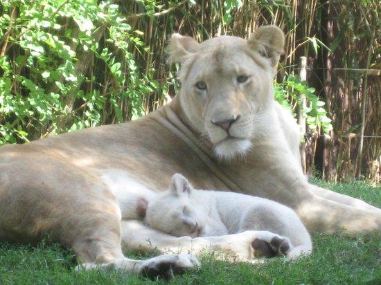 Zoo de Pessac : lionne