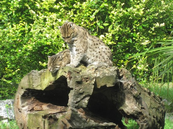 Zoo de Pessac : chat pêcheur