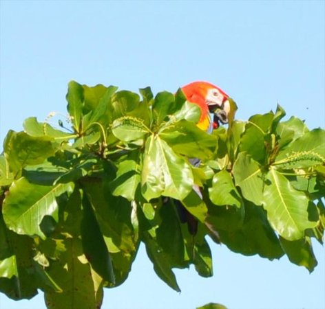 Drake Bay Wilderness Resort: Scarlet macaw visited on the first morning in the beach almond tree