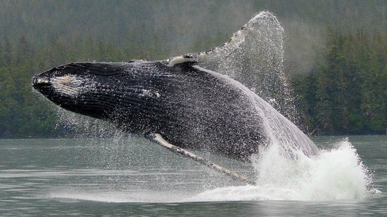 Gastineau Guiding Company - Juneau's Premier Guiding Company: Humpback Whale Breach in Juneau Bay