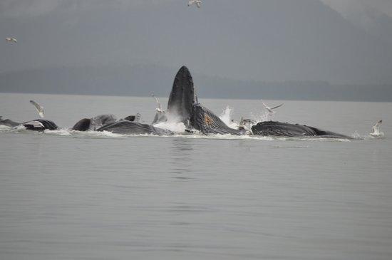 Gastineau Guiding Company - Juneau's Premier Guiding Company: Humpback Whales Bubble Net Feeding in Juneau Bay