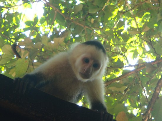 Evergreen Lodge: White-faced Capuchin by the dining area
