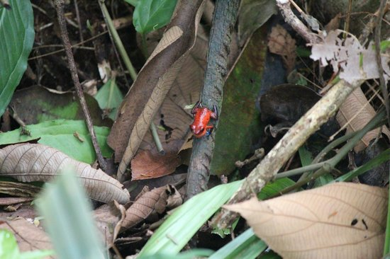Evergreen Lodge: Strawberry Poison-dart Frog outside our hut