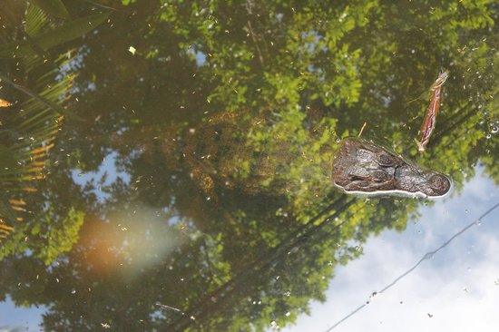 Evergreen Lodge: The local Caiman