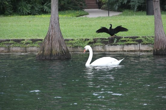 Lake Eola Park: swans - there are plenty of them