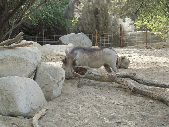 Living Desert Zoo & Gardens : Warthog at the living desert