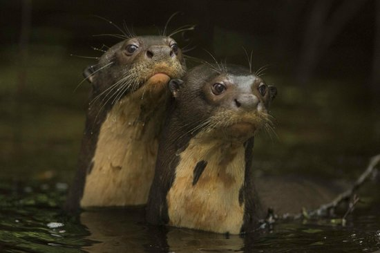 Napo Wildlife Center Ecolodge: Giant River Otters at Napo