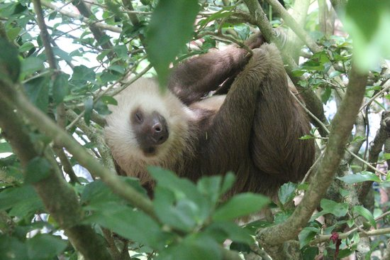 Fundación Jaguar Rescue Center: A young Brown-throated Three-toed Sloth at the