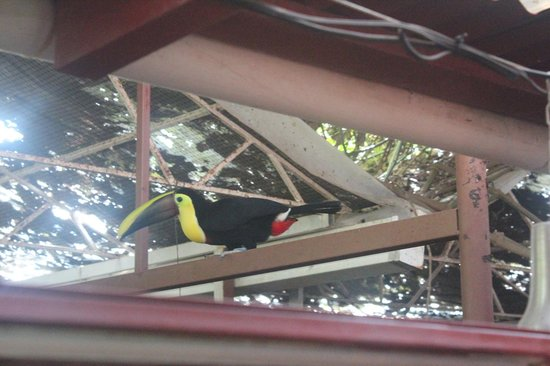 Fundación Jaguar Rescue Center: The Chestnut-mandibled Toucan, checking us out from the roof