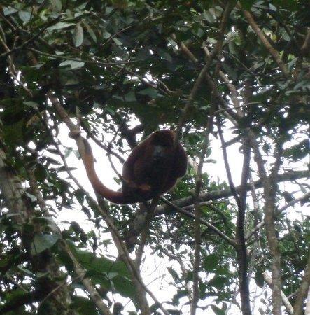 Napo Wildlife Center Ecolodge: Red Howler Monkey