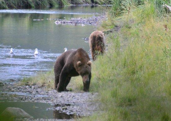 Kodiak Treks : Boar