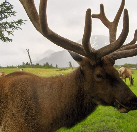 Alaska Wildlife Conservation Center: Elk August 2010