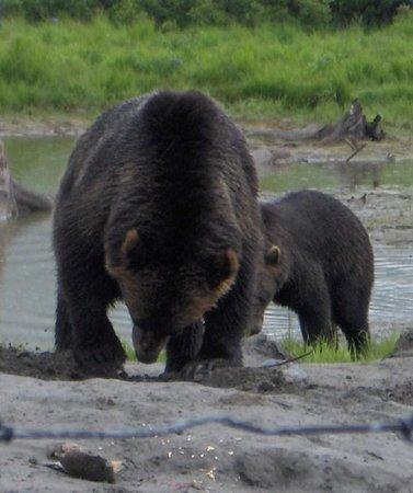 Alaska Wildlife Conservation Center: Grizzlye Bears Feeding August 2010
