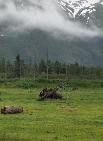Alaska Wildlife Conservation Center: Musk Ox Resting August 2010