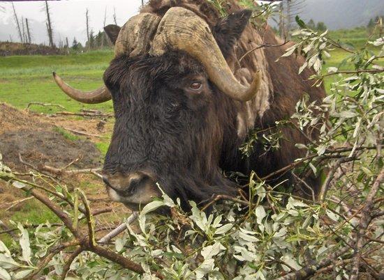 Alaska Wildlife Conservation Center: Musk Ox Feeding August 2010