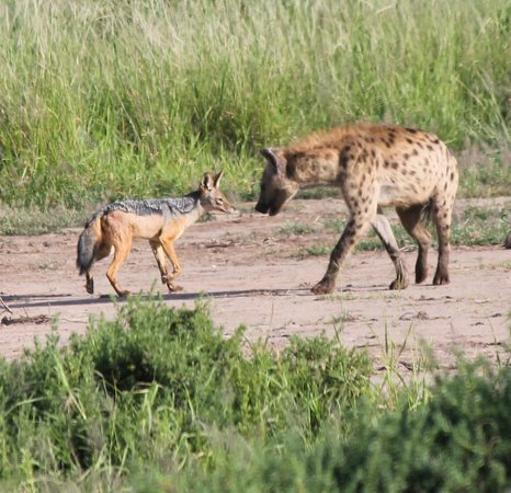 Hyena 2014 Review Jackal and Hyena 'Stan...