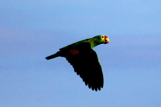 Lapa Rios Ecolodge Osa Peninsula: From our patio...lots of parrots