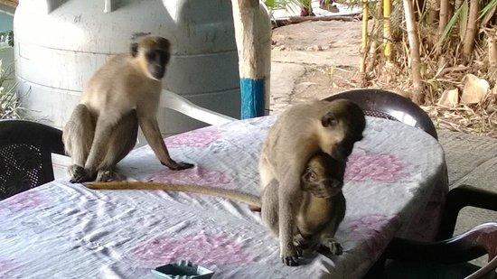 Janjanbureh, Gambia: De aapjes springen op tafel