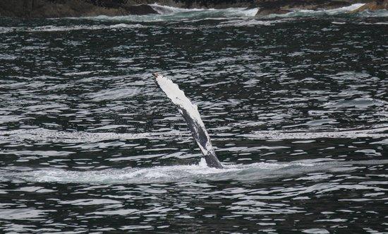 Resurrection Bay: Humpbacks wave.