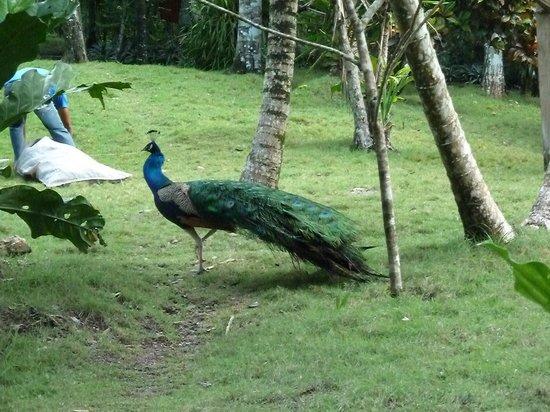 La Mansion del Pajaro Serpiente: peacocks