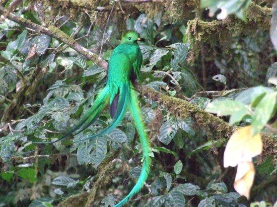 Adventours Costa Rica: Male Quetzal