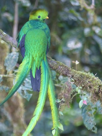 Santa Elena Skywalk: Male Quetzal