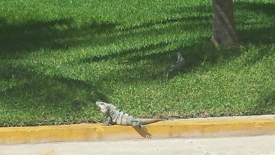 Fiesta Americana Condesa Cancun All Inclusive: We loved watching the iguanas outside the front of the hotel