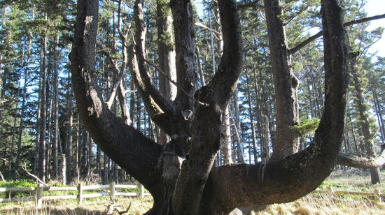 Cape Meares Lighthouse and Wildlife Refuge : Octopus tree 250 to 300 years old
