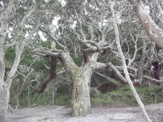 Springer's Point Preserve : Huge trees