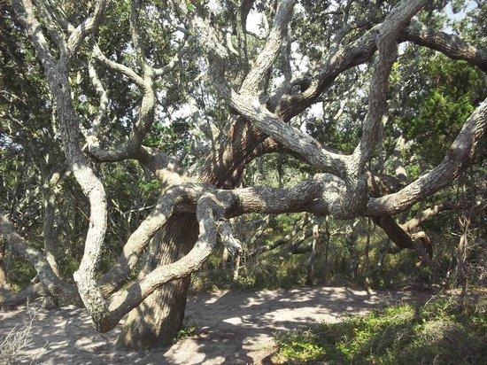 Springer's Point Preserve : Live oaks