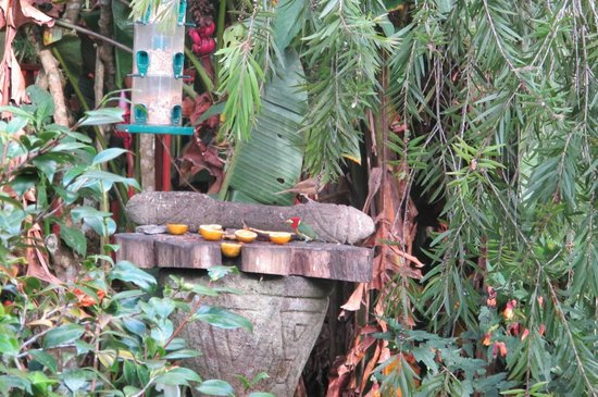 Cielito Sur Bed and Breakfast: The rare red-headed barbet on the feeder with a thrush