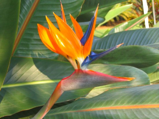 Areca Palms Estate Bed and Breakfast : Bird of Paradise