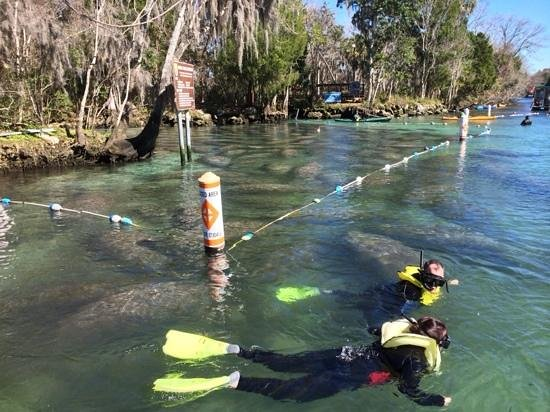 Fun 2 Dive: A portion of the 300 manatees we encountered on January 22, 14