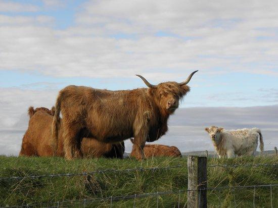 Westwards: highland cattle neighbors