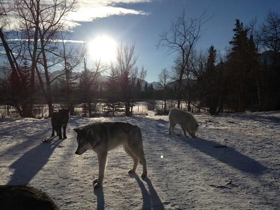 Yamnuska Wolfdog Sanctuary : Feeding the wolfdogs