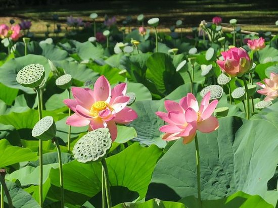 Lotus pond at Adelaide Botanic Gardens