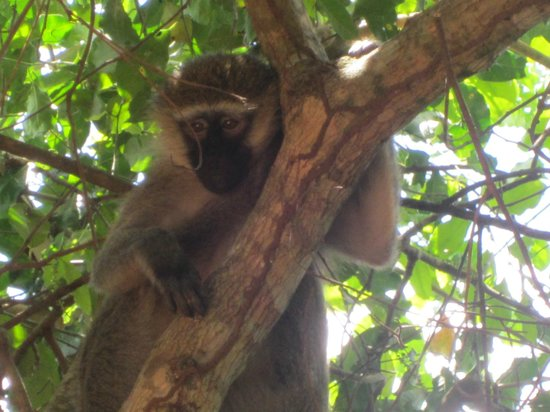 Banana Village: One of the monkeys who pass by in the mornings
