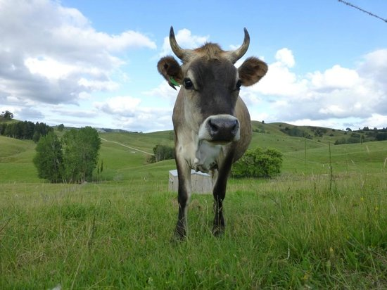 A Kiwi Farmstay: Jersey, the steer