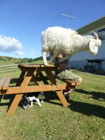 A Kiwi Farmstay: Maddie in action