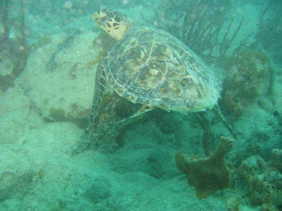 Octopus Diving: Turtle