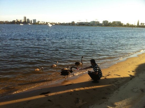 Black Swans in Swan River.