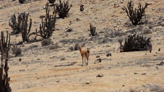 Pan de Azucar National Park: vigogne